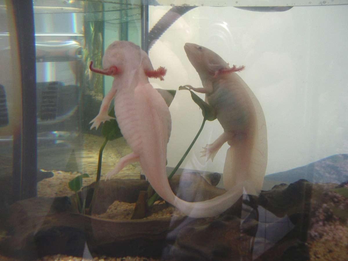 comment soigner un axolotl