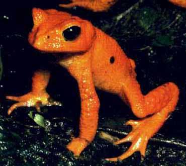 Biodiversité: un tiers des 6000 espèces d'amphibiens menacées