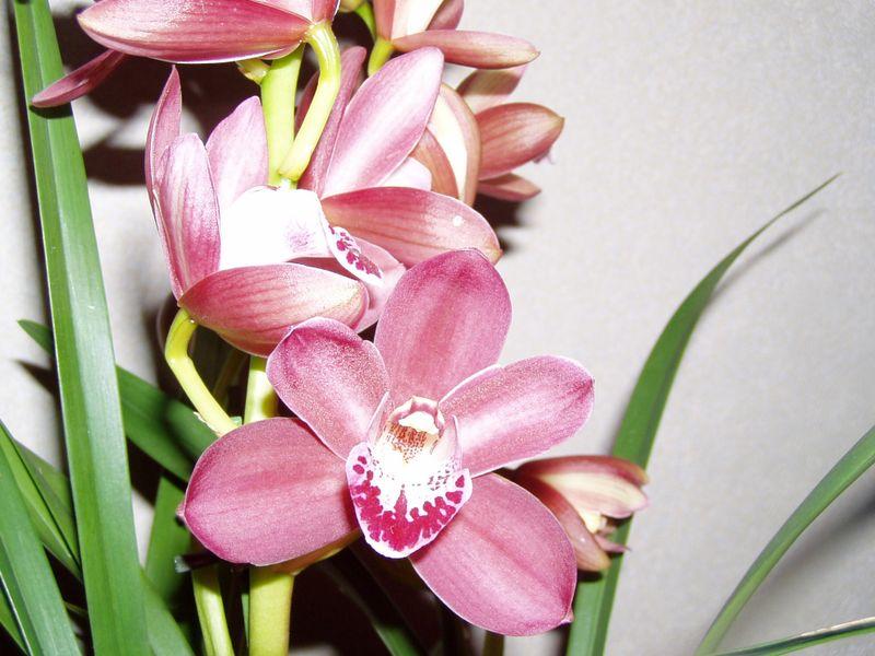 l 39 orchid e famille des orchidac es. Black Bedroom Furniture Sets. Home Design Ideas