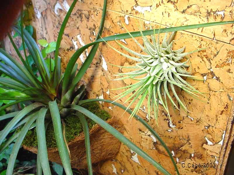 Tillandsias plante pour terra for Plante qui pousse